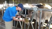 FFA visitor feeds one of the dairy cows.